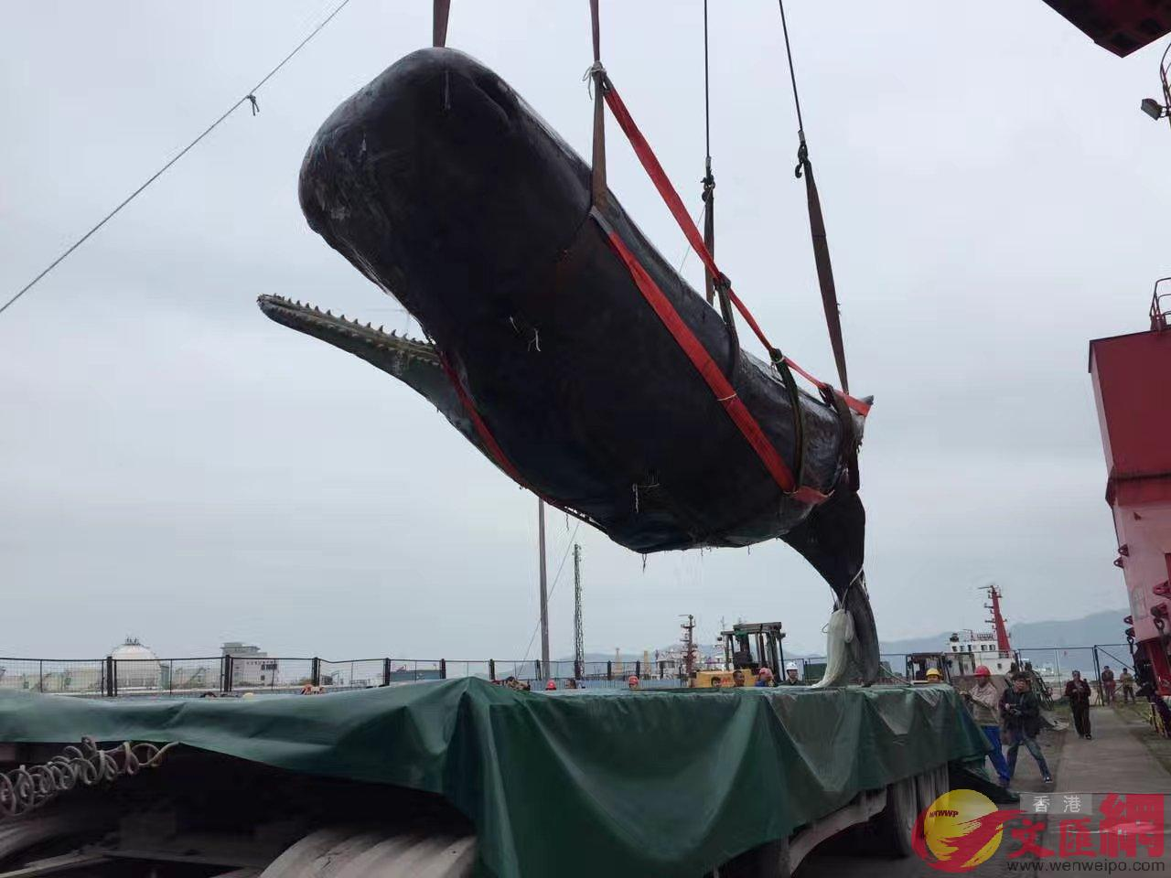 抹香鯨屍體將運回加工作成標本 記者郭若溪攝