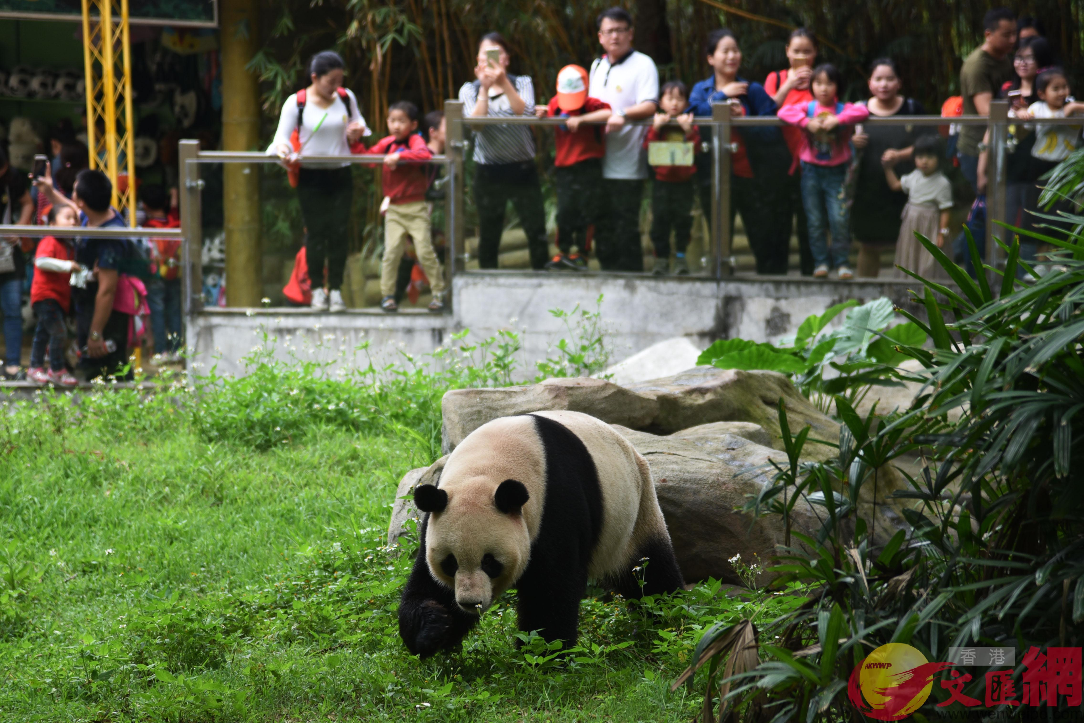 深圳野生动物园大熊猫「秋恣v首秀 憨态可掬