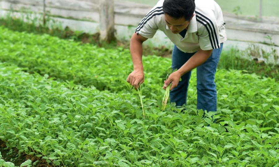 在東莞供港蔬菜基地,菜農在田�埵炯帠A菜