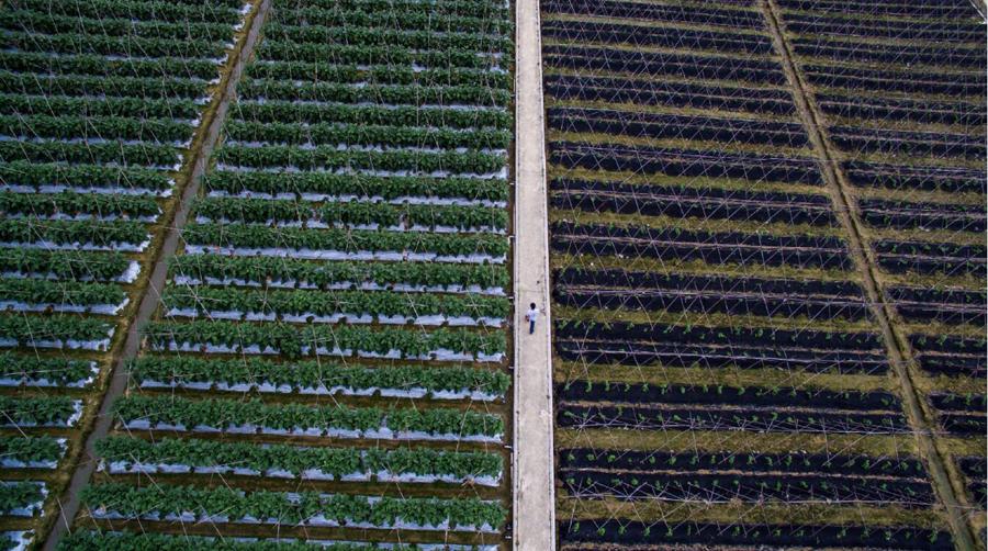 在東莞供港蔬菜基地,植保員在菜地�堥筋d