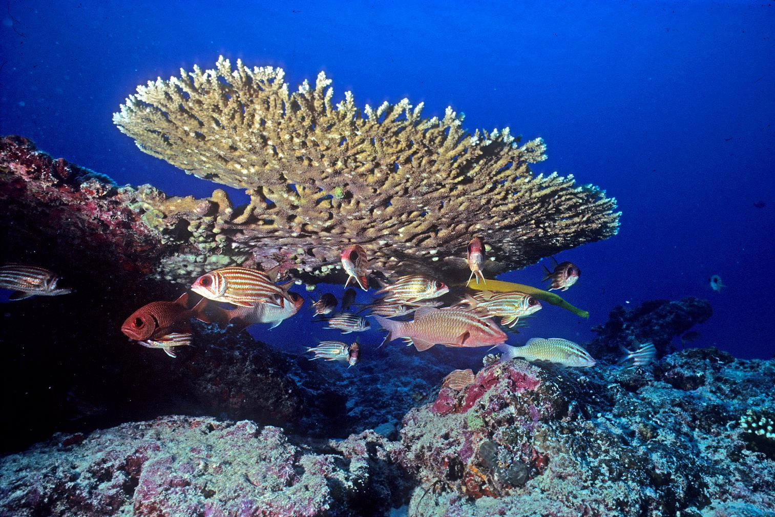東沙海域魚群游過桌形軸孔珊瑚旁