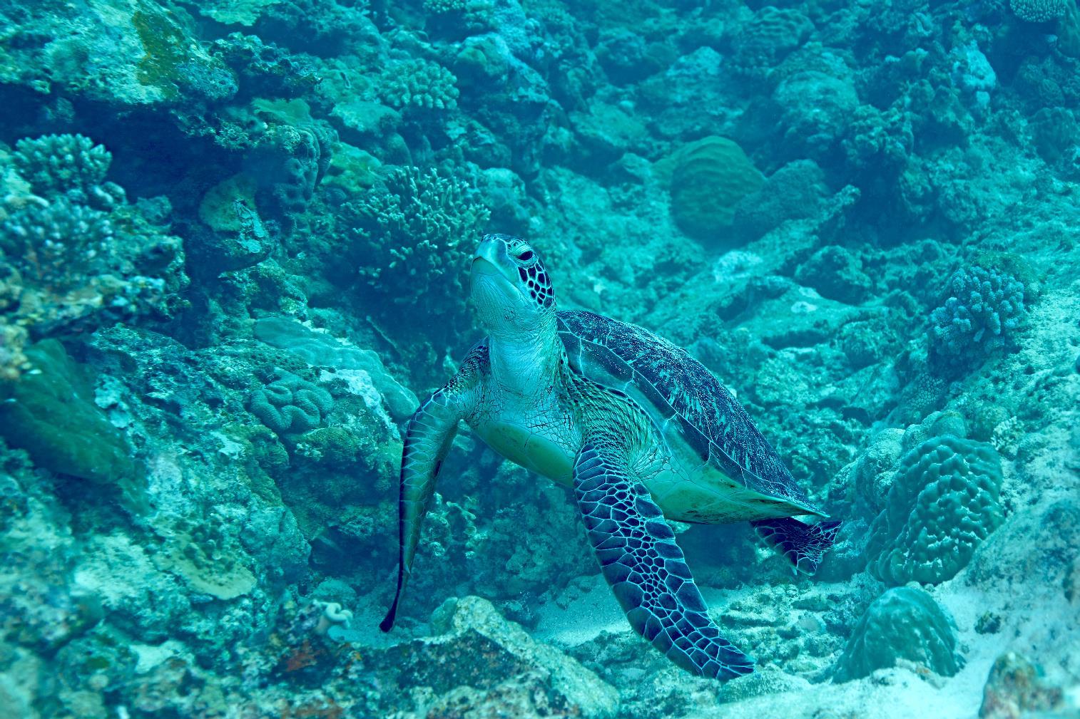 團隊在太平島東北海域捕捉到綠蠵龜身影