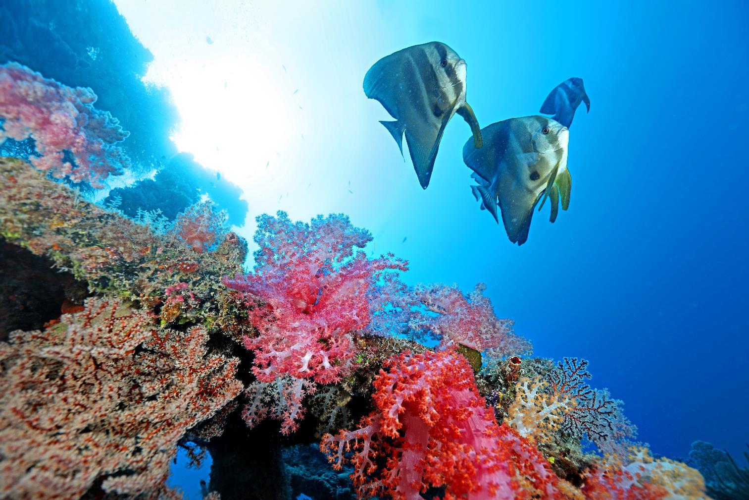 太平島東南沉船周邊,尖翅燕魚悠游其中