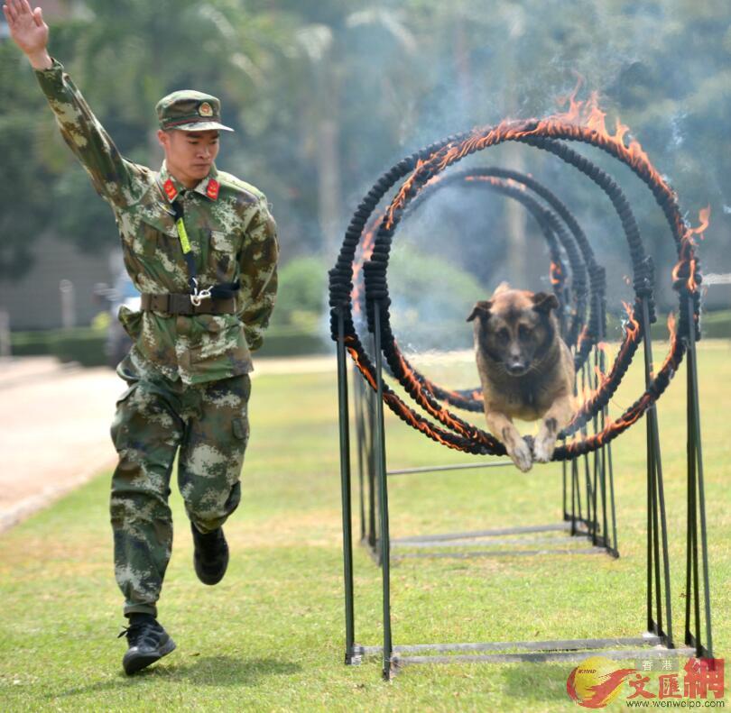 圖為警犬穿越多個火圈(記者 郭若溪 攝)