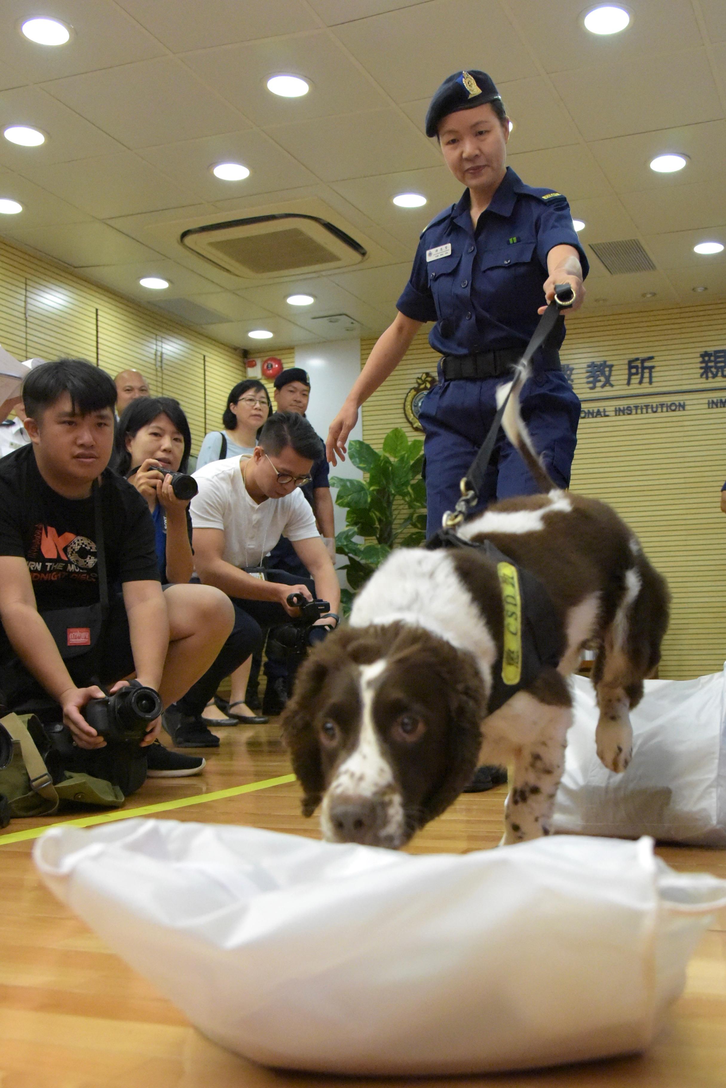 香港懲教署警衛犬隊示範帶領警衛犬搜查違禁品