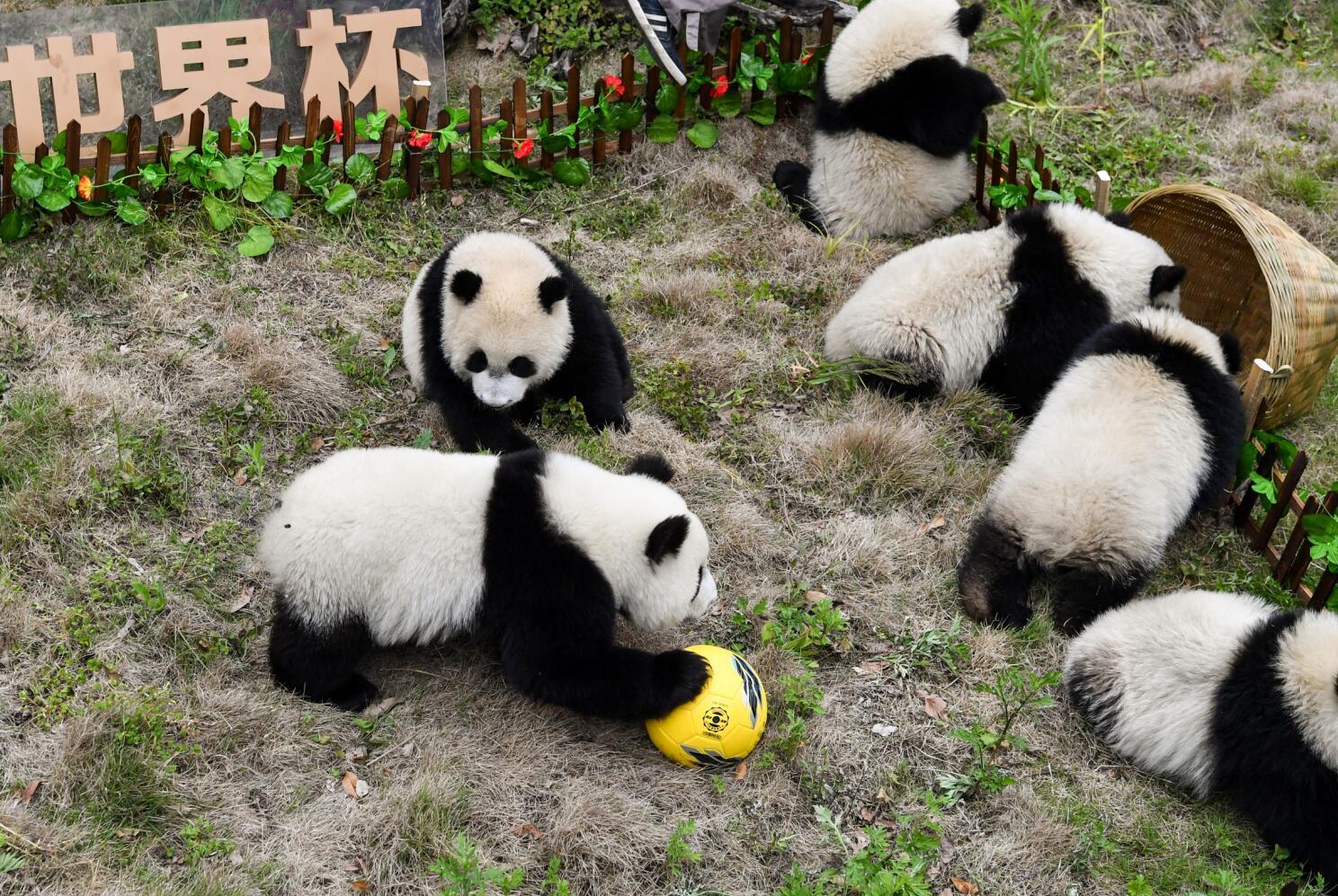 熊貓「足球賽」開賽