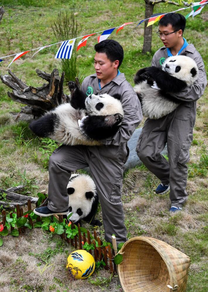 熊貓寶寶們在飼養員帶領下進入「球場」