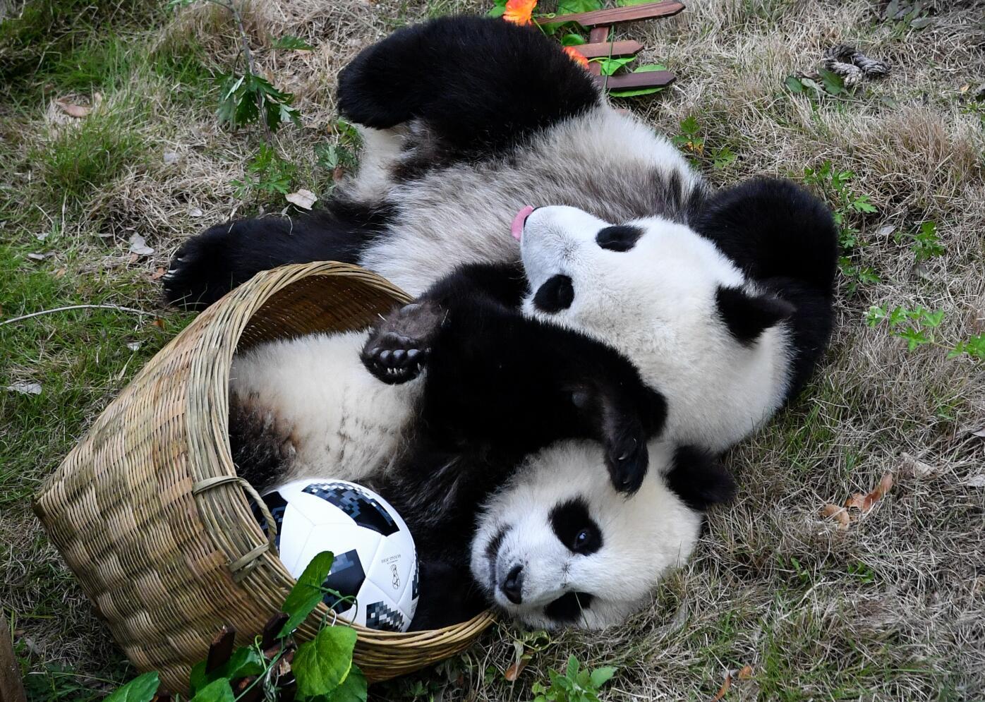 兩隻熊貓寶寶在「爭球」