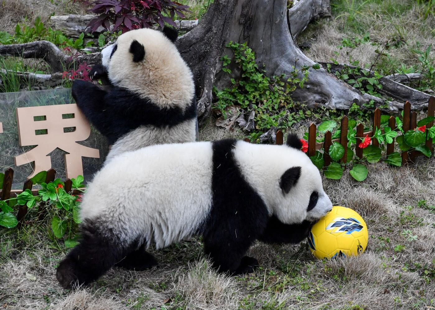 熊貓寶寶們在「球場」內熱身