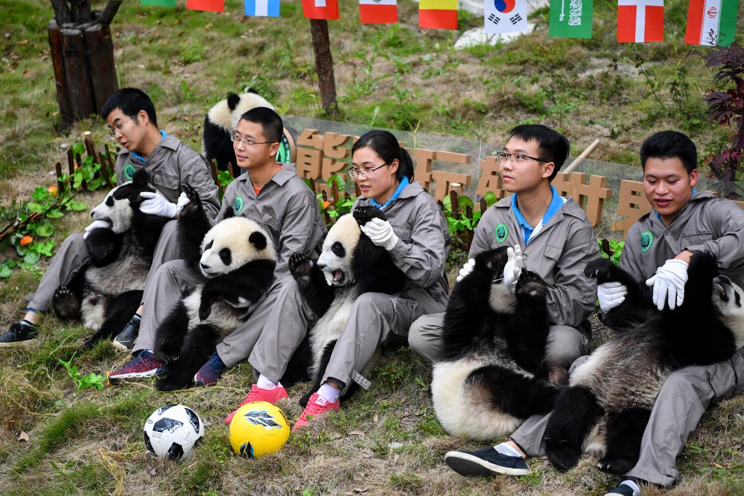 飼養員和參加「足球賽」的部分熊貓寶寶亮相