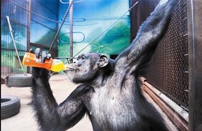 研究人類與猩猩跨物種模仿獲「搞笑諾貝爾獎」。路透社