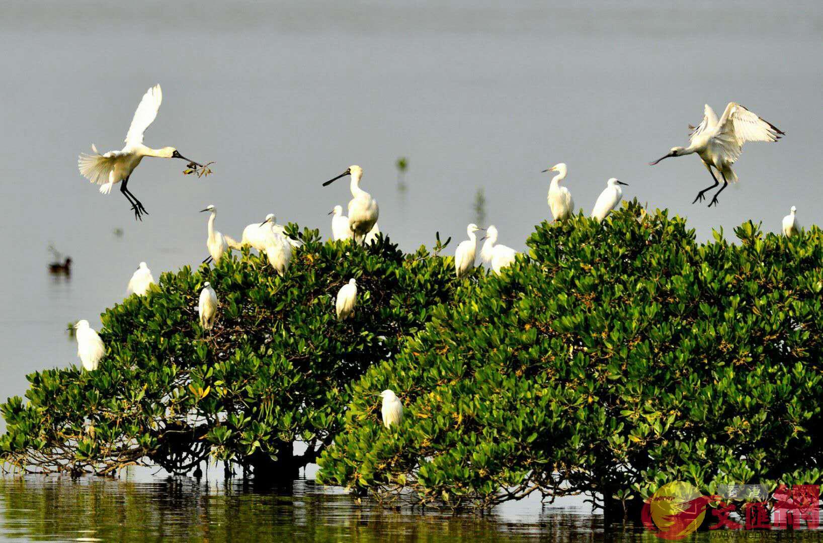 據廣東調查記錄到404種鳥中,國家級重點保護物種占逾11%。(方俊明攝)
