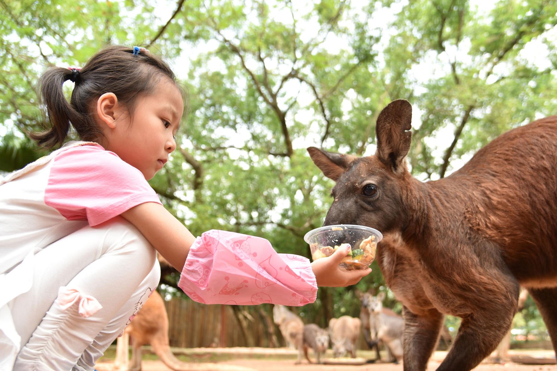 小朋友充當「小小飼養員」給袋鼠餵食