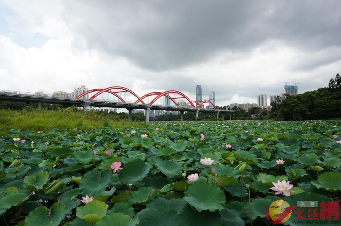 深圳市第30屆荷花展的百畝荷塘。胡永愛攝。