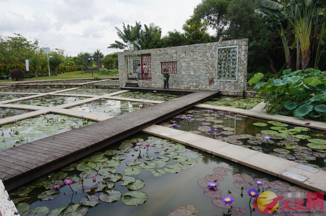 洪湖公園中的睡蓮區。胡永愛攝