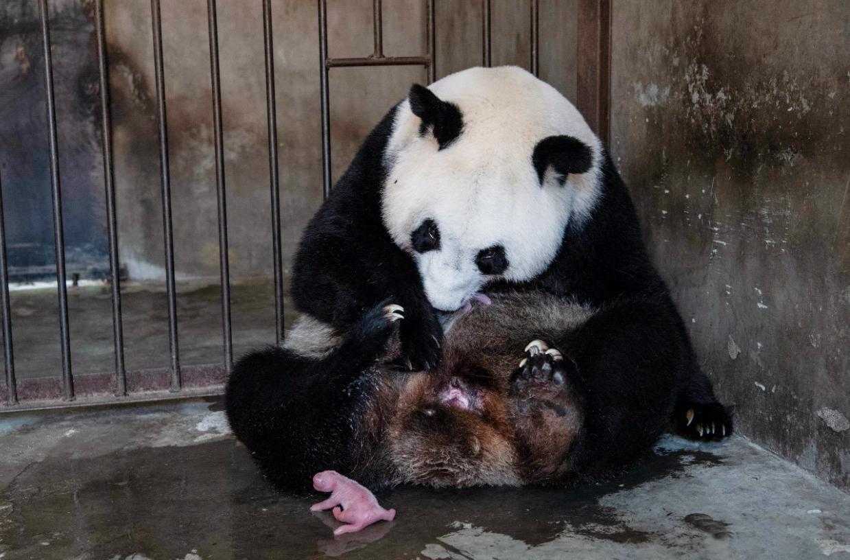 大熊貓「珠珠」平安產下一對龍鳳胎。(受訪者供圖)