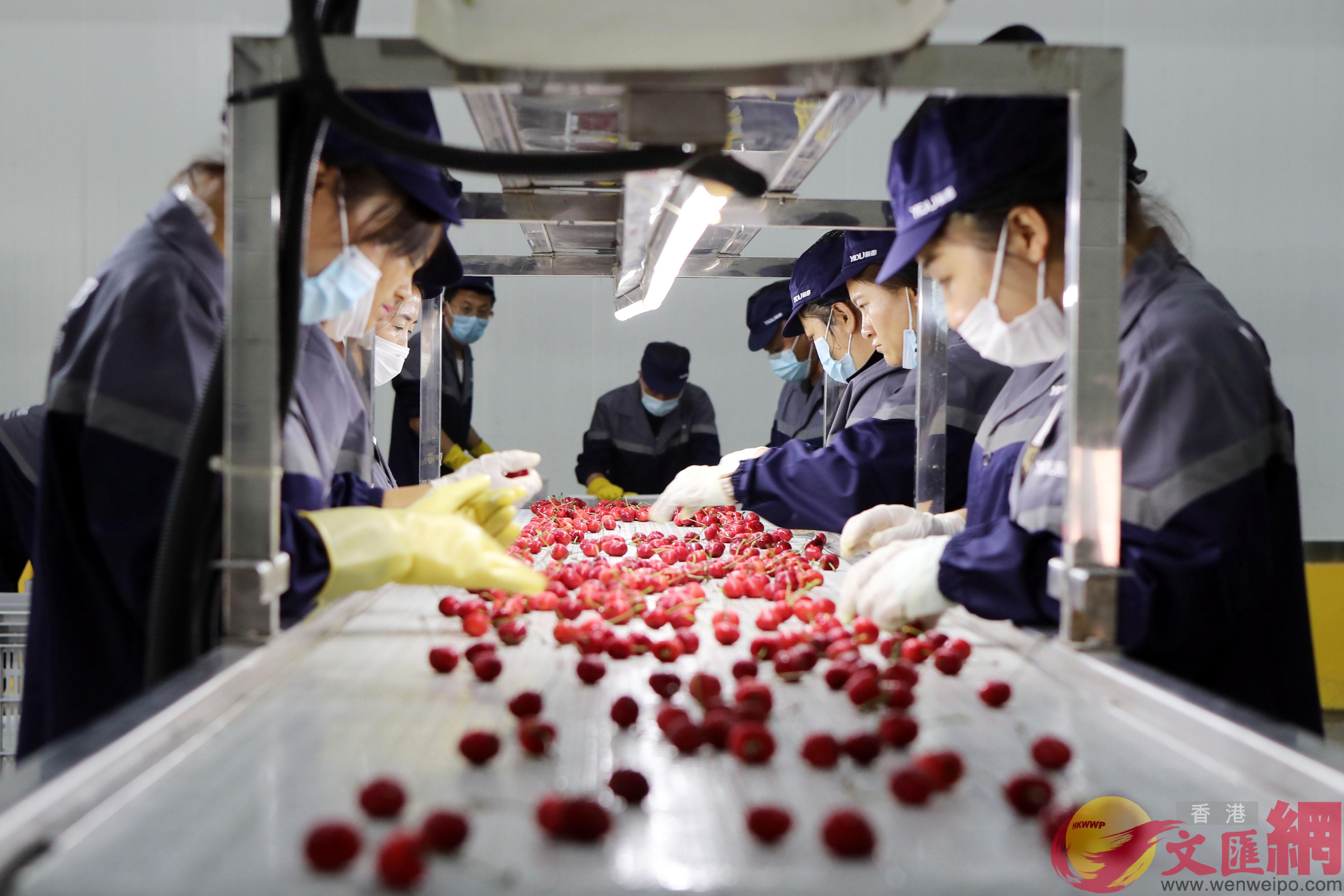 預冷分選後的櫻桃裝箱發往香港(記者宋偉攝)