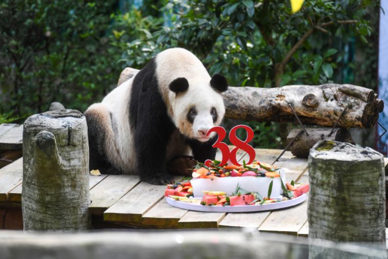 大熊貓「新星」迎來38歲生日(中新社)